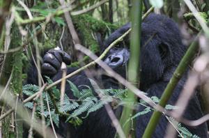 Photo by Stephen Powell Wildlife Artist Photographer Gorilla