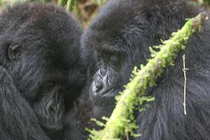 Photo by Stephen Powell Wildlife Artist Photographer Gorillas love to cuddle