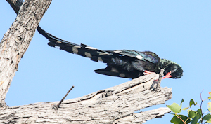 Photo by Stephen Powell Wildlife Artist Photographer Green Wood-Hoopie