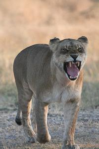 Photo by Stephen Powell Wildlife Artist Photographer Lion