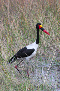 Photo by Stephen Powell Wildlife Artist Photographer Saddle-billed Stork