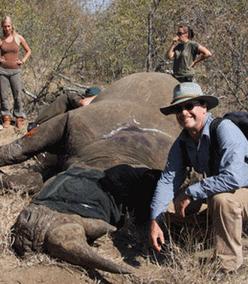 Stephen Powell with sedated White Rhinoceros