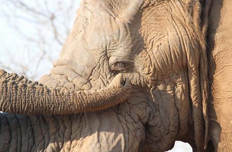 Elephant cleans its eye! Stephen Powell Wildlife Artist - Photographer