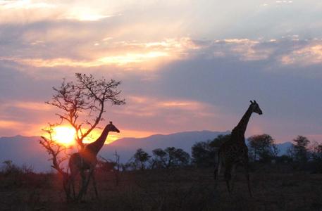 Giraffe Sunset Makalali Reserve South Africa. Photo by Stephen Powell Wildlife Artist
