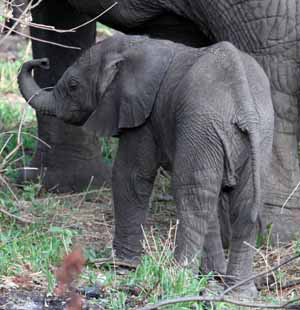 Baby Elephant Photo by Stephen Powell Wildlife Artist - Photographer