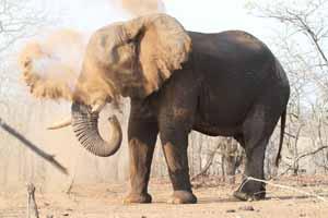 Elephant dust bath Photo by Stephen Powell Wildlife Artist - Photographer