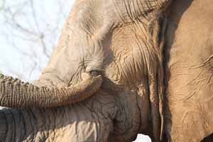 Elephant cleaning eye Photo by Stephen Powell Wildlife Artist - Photographer