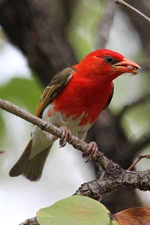 Red-headed Weaver Photo by Stephen Powell Wildlife Artist