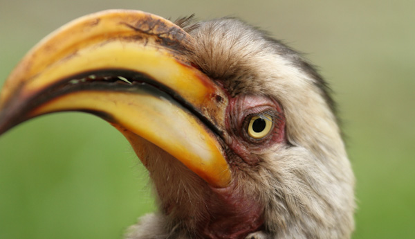 Southern Yellow-billed Hornbill photograph by Stephen Powell wildlife artist