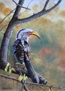 Oil painting by Stephen Powell 'Makalali Yellow-billed Hornbill' Southern Yellow-billed Hornbill Oil Painting 365 X 505 mm. Reference gathered whilst participating in Siyafunda Volunteers on Makalali Game Reserve South