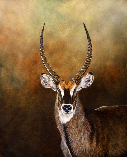 Waterbuck - Oil painting by Stephen Powell, Reference gathered whilst participating in Siyafunda Volunteers on Makalali Game Reserve South Africa
