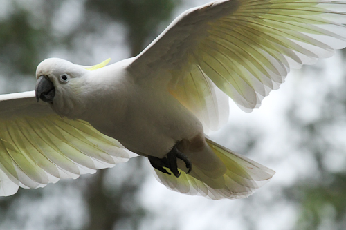 Sulphur-crested Cockatoo photograph by Stephen Powell Wildlife Artist