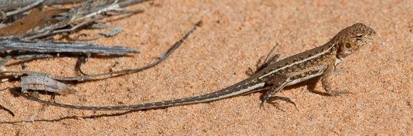 Spotted Sand-Dragons (My best guess) Striated Pardalote. Stephen Powell Wildlife Artist - photo taken Mungo National Park NSW Australia.