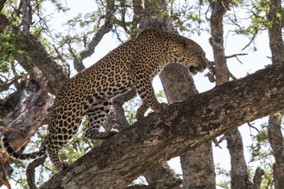 Leopards never cease to thrill! Stephen Powell & Steve Morvell Artist Photographer Guided African Safari 2012